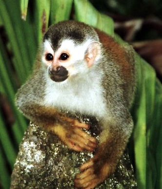 File-Squirrel_monkey1-cropped.jpg