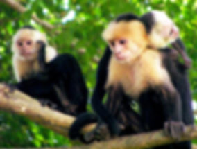 White-Faced-Capuchin.jpg