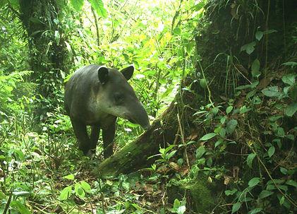 bairds tapir_edited.jpg