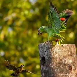 emerald macaw.jpg