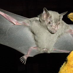 Jamaican Fruit Bat