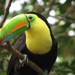 Keel-billed Toucan.JPG