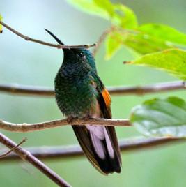 Strip-tailed Hummingbird