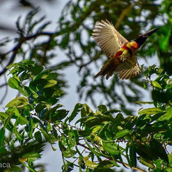 aracari in flight.png