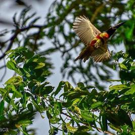 aracari in flight.png
