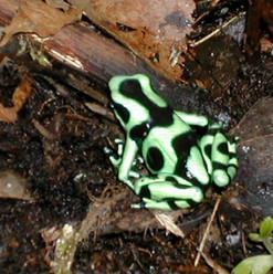 Black and Green Dart Frog