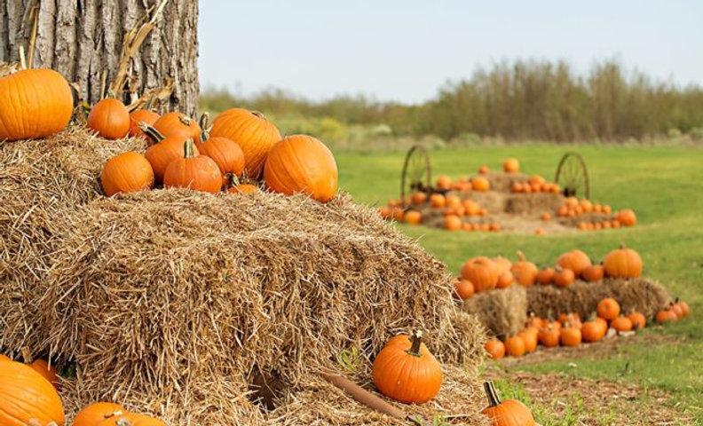 Random pumpkin patch.jpeg