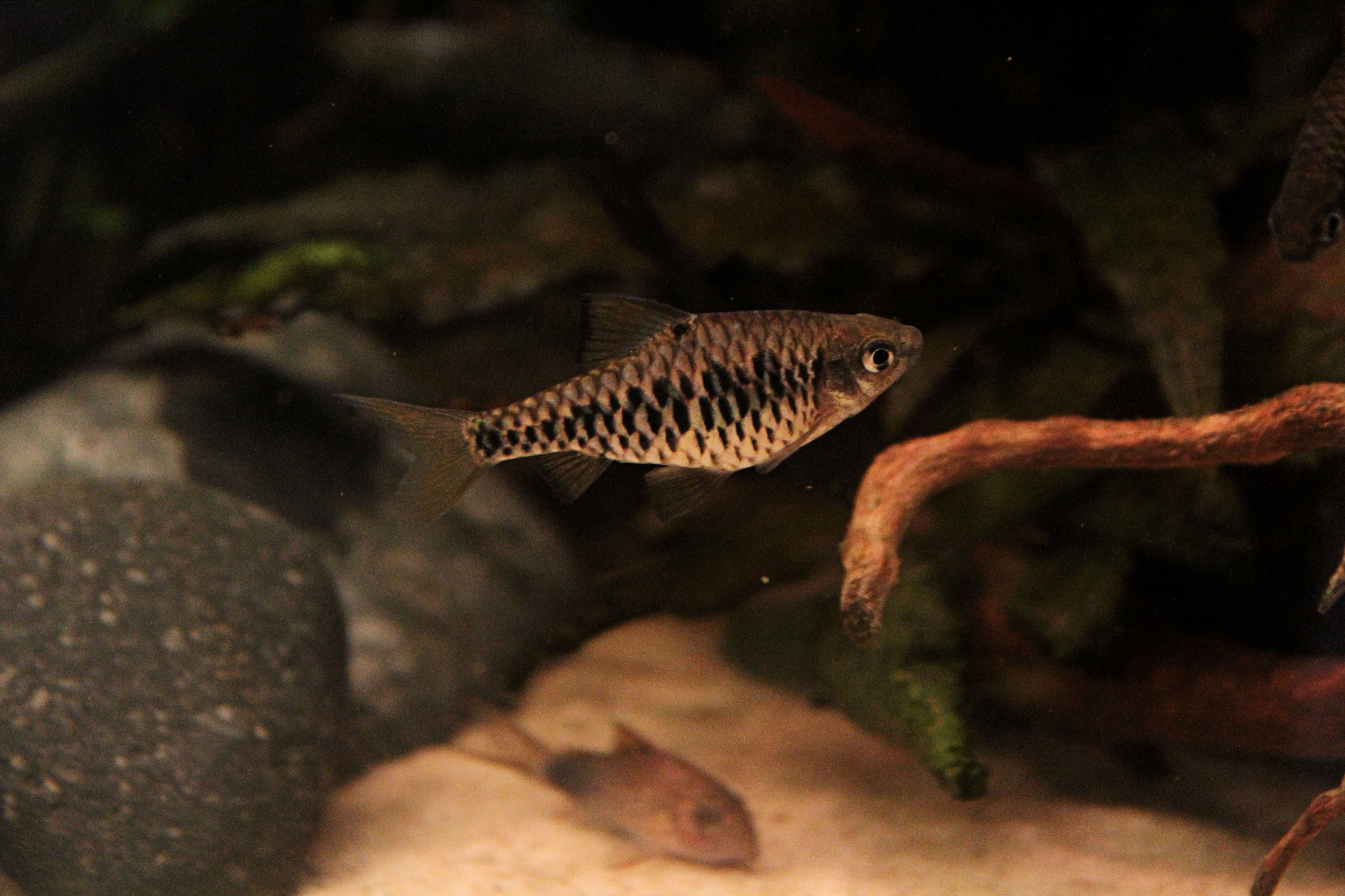 Checkered Barb1