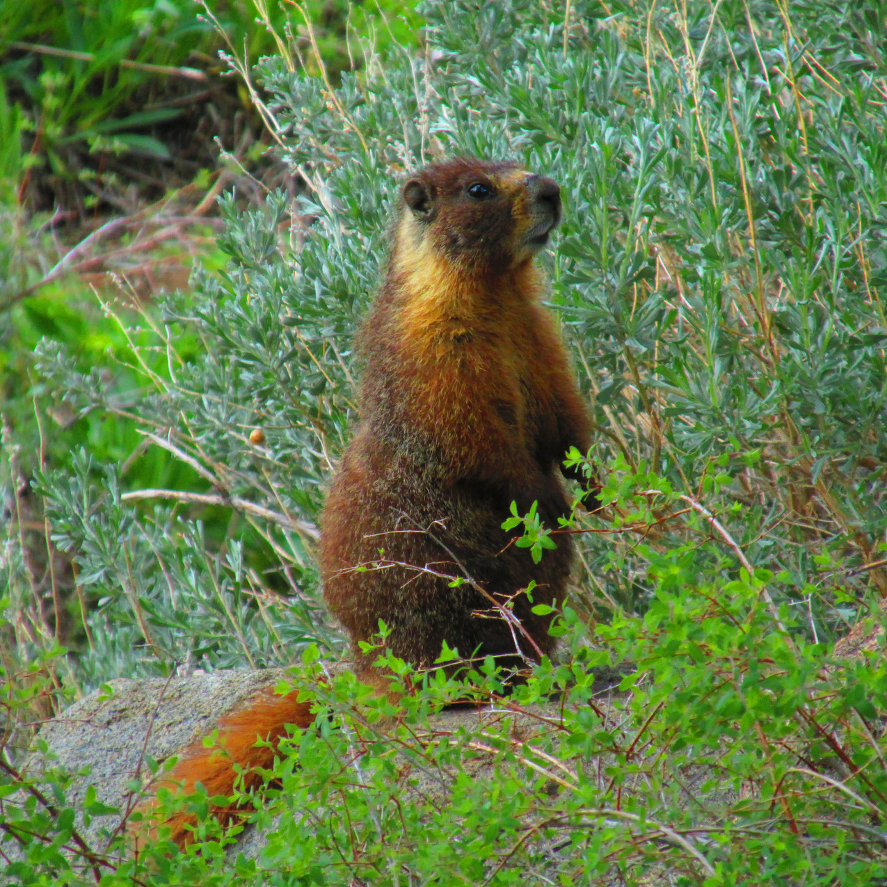 This marmot posed for me.  How nice of him.