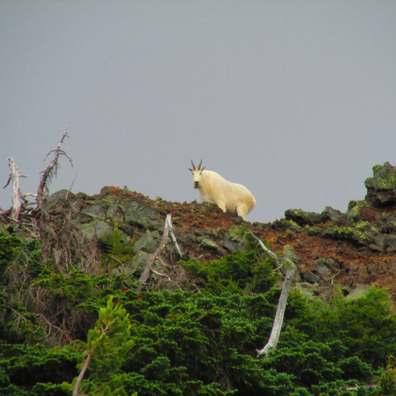 It took me a couple tries to get a good picture of the mountain goat, but I appreciated it when he ran up to the ridge so I could get a really good shot.