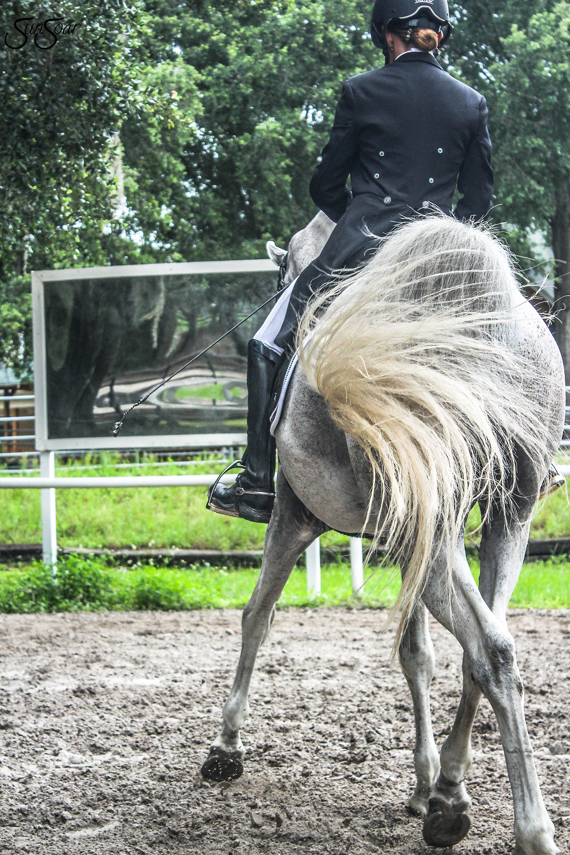 Arabian Dressage Stallion
