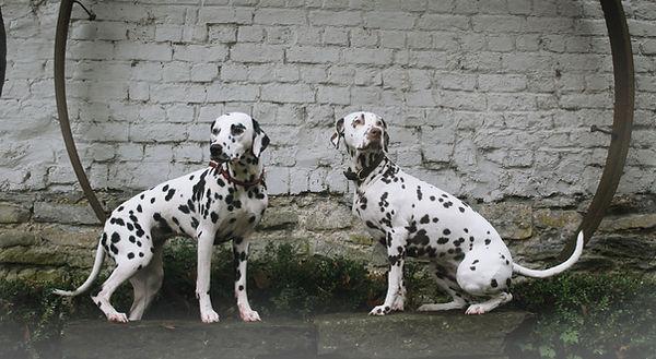 Les femelles de notre élevage de Dalmatien