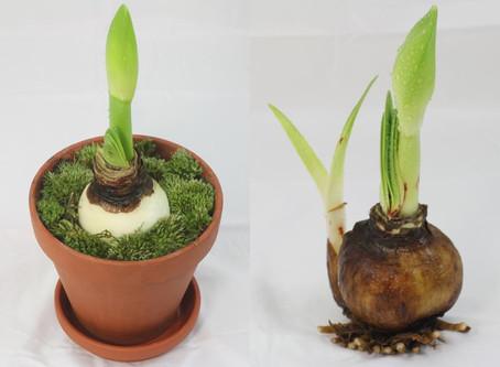 Order Your Amaryllis Bulbs Now