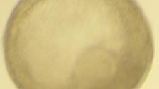 Experimento amadurece óvulos em laboratório