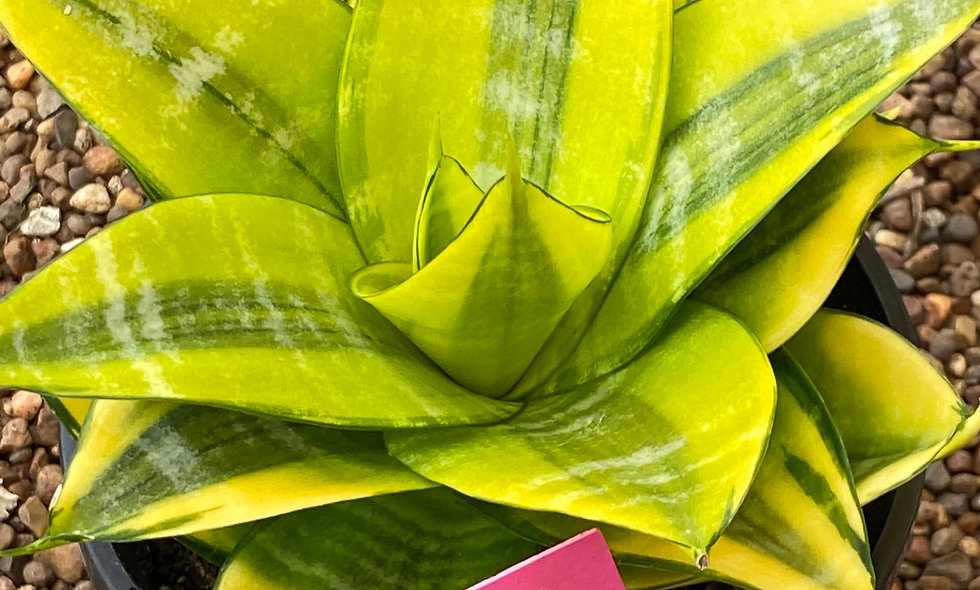 Sansevieria hahnii Thai hybrid