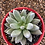 Thumbnail: Echeveria tolimanensis