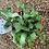 Thumbnail: Epiphyllum Curly Sue