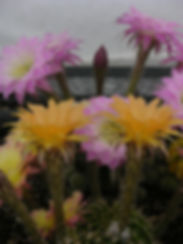 echinopsis2.jpg