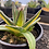 Thumbnail: Agave victoria-reginae 'Indonesian Gold'