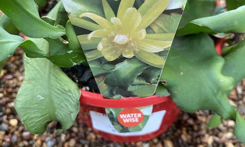 Epiphyllum Curly Sue