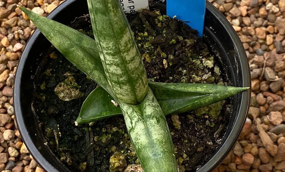 Sansevieria cylindrica var patula 'Boncel' #1