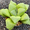 Thumbnail: Haworthia comptoniana  Monju