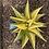 Thumbnail: Haworthiopsis limifolia variegata (medium size)