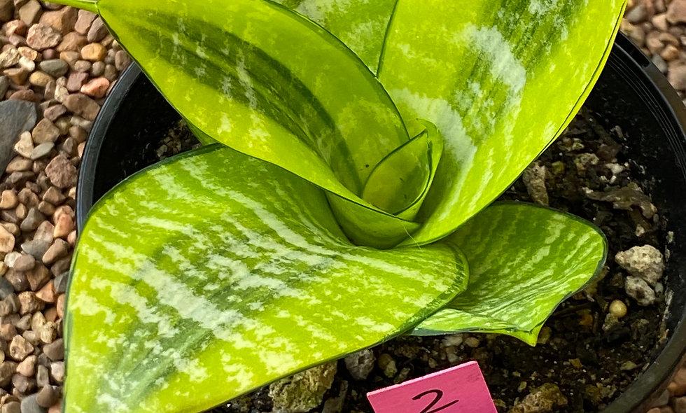 Sansevieria hahnii Thai Hybrid (Med #2)