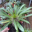 Thumbnail: Pachypodium Lamerii