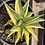 Thumbnail: Haworthiopsis limifolia variegata ( Large plant)