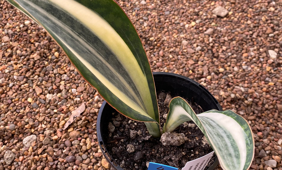 Sansevieria masoniana variegata white # 4
