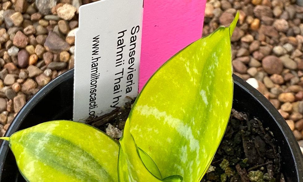 Sansevieria hahnii Thai hybrid (Small#3)