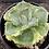 Thumbnail: Agave potatorum Shoji-Raijin variegata marginata