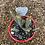 Thumbnail: Euphorbia aeruginosa