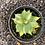 Thumbnail: Agave isthmensis 'Ohi Raijin Shiro Nakafu' Yellow centre