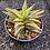 Thumbnail: Haworthia attenuata x limifolia variegata