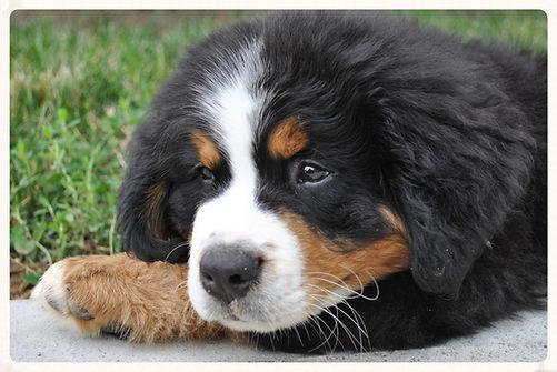 Naturally Raised Bernese Mountain Dog Puppies Cincinnati Ohio