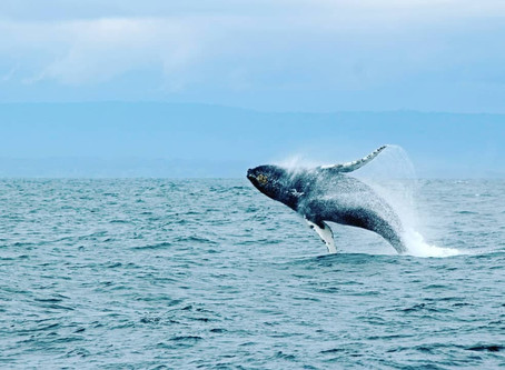 Counting Whales - Byron Bay Whale Watching season opens