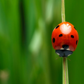 Managing Aphid Infestations with Ladybugs