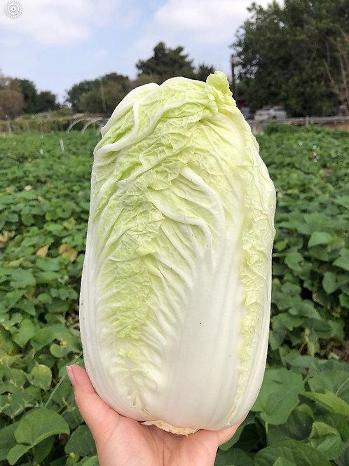 Napa 白菜