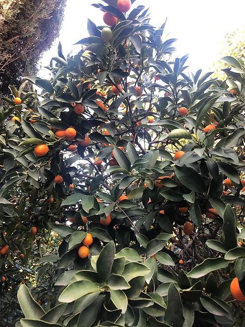 Kumquat U-Gofresh 金桔
