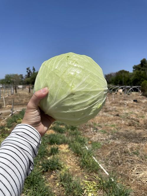 Cabbage 加州農場自產台灣品種的高麗菜