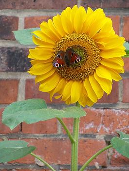 SonnenblumeSchmetterlin.jpg