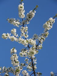 MApfelblütenbaum.JPG