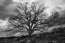 Witness Tree, Devil's Den, Gettysburg
