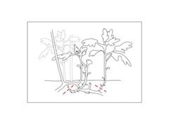 Chrysanthemen_teilen1