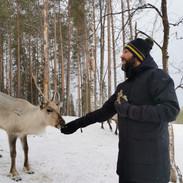 reindeer feeding
