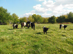 French creek belted galloway cattle