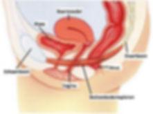Anatomie bekkenbodem