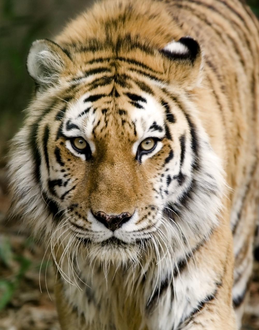 Bengal Tiger - India